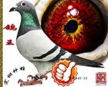 鸽王   雄   特号346-15