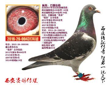 自身西安灞桥鸽会500公里50名威力铭鸽(爱莎近亲)作育