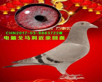 42号拍卖鸽