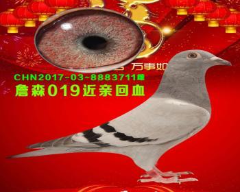 44号拍卖鸽
