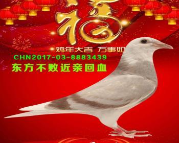 47号拍卖鸽