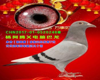 51号拍卖鸽