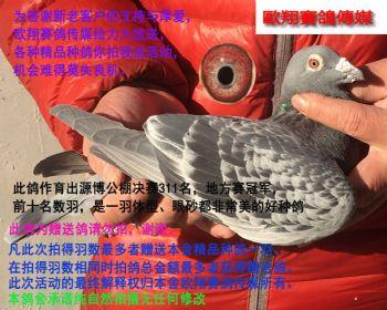 赠送鸽15349雄鸽