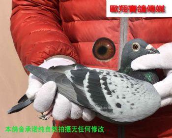 第一配对17102雌鸽