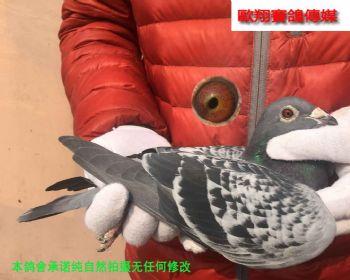 考夫曼17103雄鸽