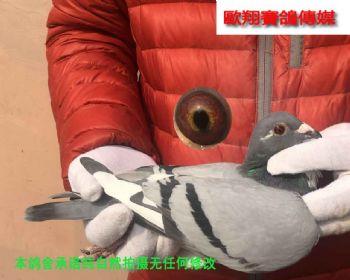 速霸龙17109雌鸽