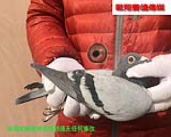 考夫曼17126雌鸽