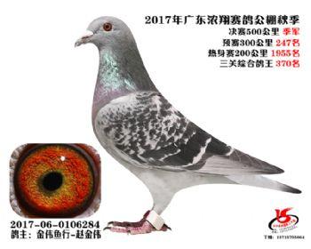 广东浓翔获奖鸽季军