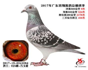 广东浓翔获奖鸽9名