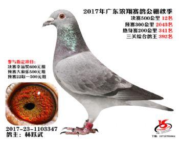 广东浓翔获奖鸽12名