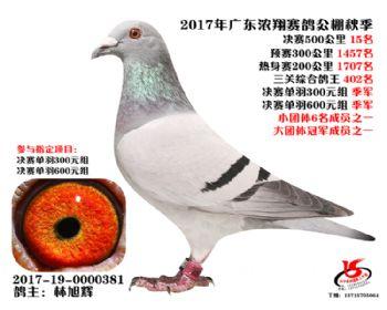 广东浓翔获奖鸽15名