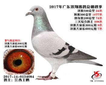 广东浓翔获奖鸽24名