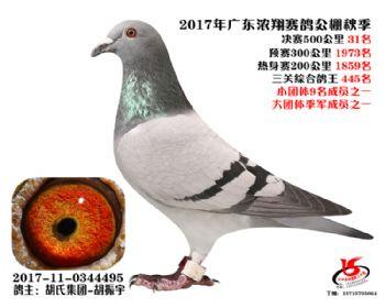 广东浓翔获奖鸽31名