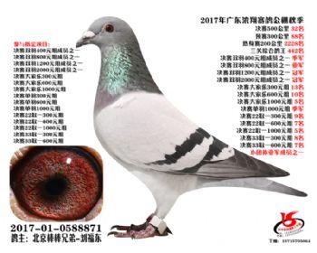 广东浓翔获奖鸽32名