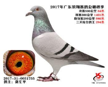 广东浓翔获奖鸽34名
