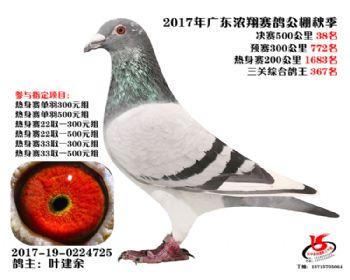 广东浓翔获奖鸽38名