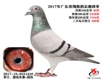广东浓翔获奖鸽43名