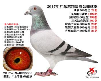 广东浓翔获奖鸽71名