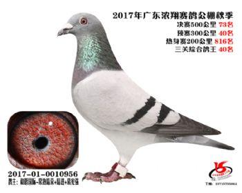 广东浓翔获奖鸽73名