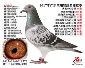 广东浓翔获奖鸽85名