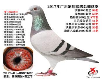 广东浓翔获奖鸽86名
