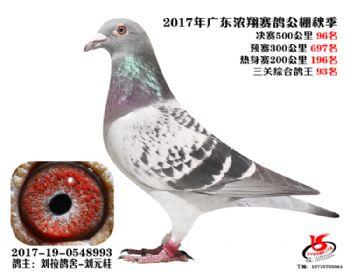 广东浓翔获奖鸽96名