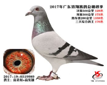 广东浓翔获奖鸽129名