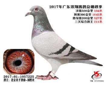 广东浓翔获奖鸽134名