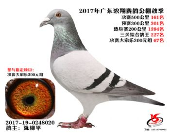 广东浓翔获奖鸽161名