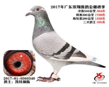 广东浓翔获奖鸽304名