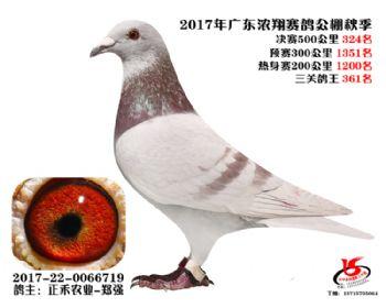 广东浓翔获奖鸽324名