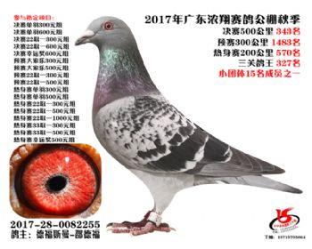 广东浓翔获奖鸽343名