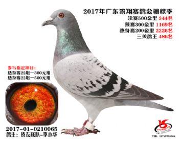 广东浓翔获奖鸽344名