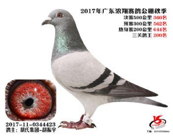 广东浓翔获奖鸽360名