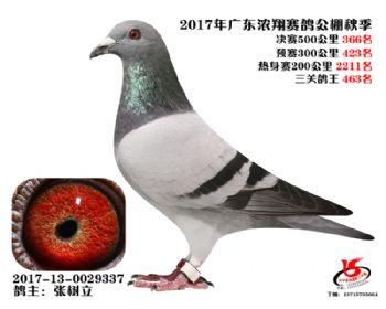 广东浓翔获奖鸽366名