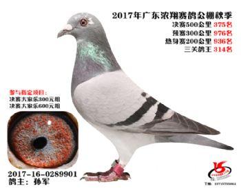广东浓翔获奖鸽375名