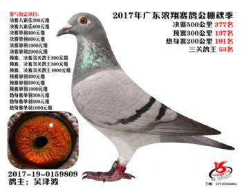 广东浓翔获奖鸽377名
