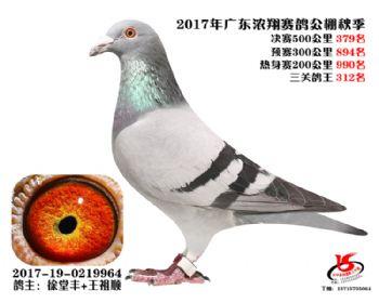 广东浓翔获奖鸽379名