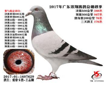 广东浓翔获奖鸽388名