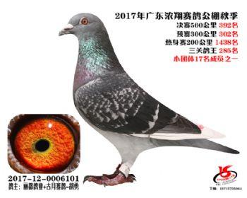 广东浓翔获奖鸽392名