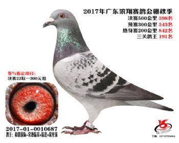 广东浓翔获奖鸽398名