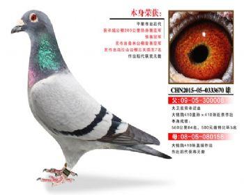 温氏鸽业2号拍卖鸽