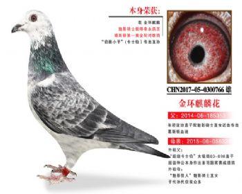 温氏鸽业3号拍卖鸽