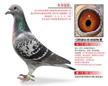 温氏鸽业4号拍卖鸽