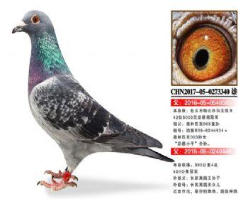 温氏鸽业7号拍卖鸽
