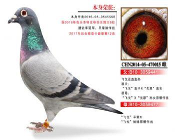 温氏鸽业6号拍卖鸽