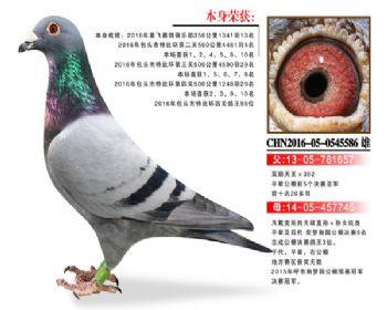 温氏鸽业5号拍卖鸽