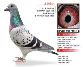 温氏鸽业8号拍卖鸽