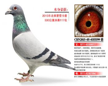 温氏鸽业101号拍卖鸽