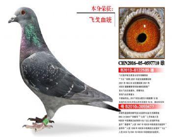 温氏鸽业103号拍卖鸽